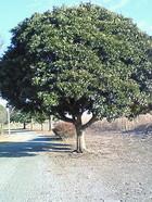 どんぐりの木
