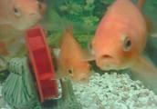 うちの金魚